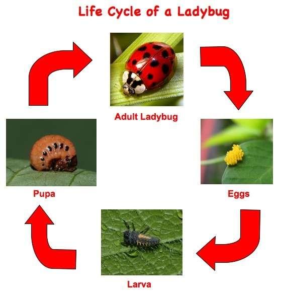 ladybug001